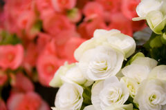 Beautiful roses closeup background Royalty Free Stock Photo
