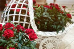 Beautiful roses in a decorative basket. Beautiful red roses. The flowers in the garden. Wallpaper Royalty Free Stock Photos