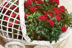 Beautiful roses in a decorative basket. Beautiful red roses. The flowers in the garden. Wallpaper Stock Photo