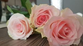 Beautiful roses of a delicate pink stock images