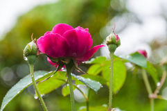 Beautiful roses flower. After raining Stock Image