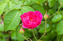 Beautiful roses flower. After raining Stock Photo