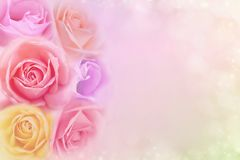 Beautiful roses flower in soft color filters, background for valentine or wedding card. Beautiful pink, purple,yellow roses flower in soft color filters stock images