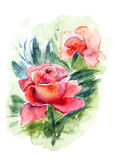 Beautiful Roses flowers. Watercolor painting Stock Photography
