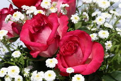 Beautiful roses. Flowers / Beautiful roses in the garden royalty free illustration