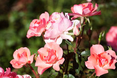 Beautiful roses in the garden Royalty Free Stock Photography