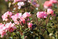 Beautiful roses in the garden Royalty Free Stock Images