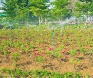 Beautiful roses garden Stock Photography