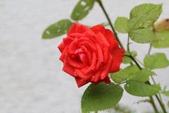 Beautiful roses. In the garden vector illustration