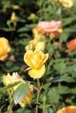 Beautiful roses in garden Royalty Free Stock Photos