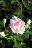 Beautiful roses in garden Stock Photos
