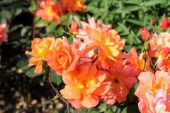 Beautiful roses in garden Royalty Free Stock Photo