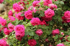 Beautiful roses in garden Royalty Free Stock Photography