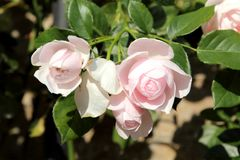 Beautiful roses in garden Royalty Free Stock Images