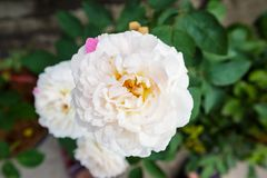 Beautiful roses in the garden. Close up Royalty Free Stock Images