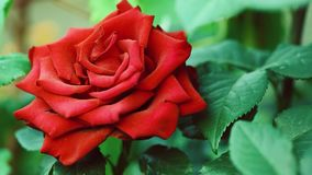 Beautiful roses in garden. Beautiful bright red rose in the spring or summer garden - close up outdoors stock video footage