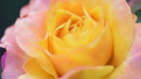 Beautiful roses in garden. Beautiful bright yellow rose in the spring or summer garden - close up outdoors stock video footage