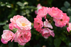 Beautiful roses in the garden. Close-up shots of beautiful roses in the garden Royalty Free Stock Photo