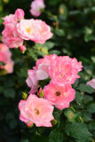 Beautiful roses in the garden. Close-up shots of beautiful roses in the garden Stock Photography