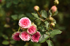 Beautiful roses in the garden. Close-up shots of beautiful roses in the garden Royalty Free Stock Photography
