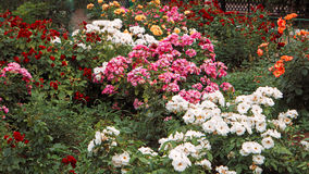 Beautiful roses garden, flowerbed with different color rose-flowers, vintage toned colorized. Shot, white and pink flowers in spring garden Royalty Free Stock Photo