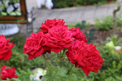 Beautiful roses in the garden. Flowers / Beautiful roses in the garden Royalty Free Stock Images