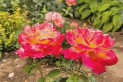Beautiful roses in the garden Stock Photography