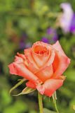 Beautiful roses in the garden Royalty Free Stock Image