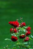 Beautiful Roses in a Garden in Lienz, Austria. Stock Photo