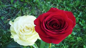 Beautiful roses in the garden. stock photo