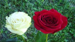 Beautiful roses in the garden. royalty free stock photos
