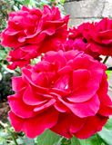 Beautiful roses in garden nice jpg picture. Nice jpg picture Beautiful roses in garden stock photo