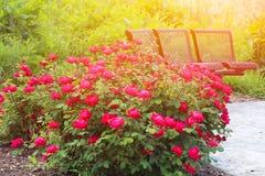 Beautiful roses garden Stock Photos