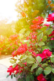 Beautiful roses garden Royalty Free Stock Photo