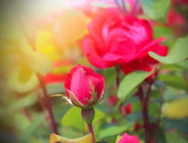 Beautiful roses garden Royalty Free Stock Photography