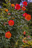Beautiful roses in the garden. Of a park Stock Photography