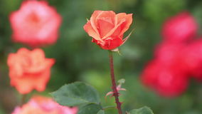 Beautiful roses in a garden stock video footage