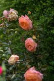 Beautiful roses in garden. stock image