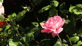 Beautiful roses in the garden stock video