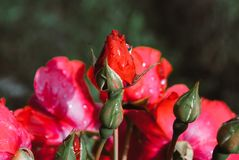Beautiful roses in garden, roses for Valentine Day. Rain drops.  stock image