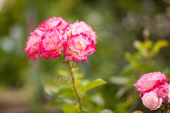 Beautiful roses in the garden Stock Photos