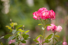 Beautiful roses in the garden. Spring Stock Images