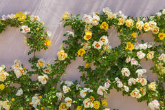 Beautiful roses on the garden wall. Background Royalty Free Stock Photo