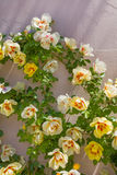 Beautiful roses on the garden wall background Stock Photo