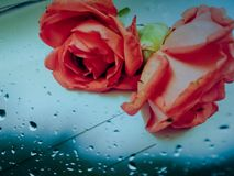 Beautiful roses on glass table royalty free stock photo