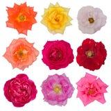 beautiful roses isolated on white background Royalty Free Stock Images