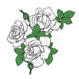 Beautiful roses with leaves and buds. Vector illustration for a postcard or a poster, print for clothes. Vintage flowers. Royalty Free Stock Photo
