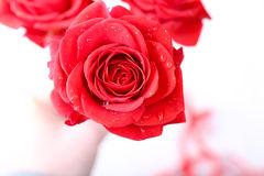 Beautiful roses on light background Royalty Free Stock Photography