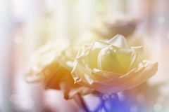 Beautiful roses Royalty Free Stock Photography