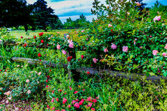 Beautiful Roses on an Old Texas Wooden Fence Royalty Free Stock Photos